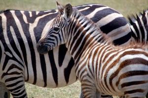 zebra-1439498-m